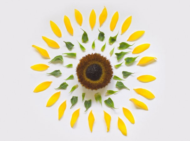 sunflower-exploded