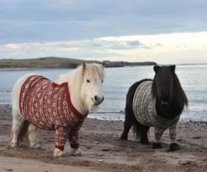 Shetland pony's in Schotland