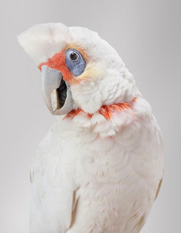 portretten-vogels-leila-jeffreys-6